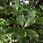 シキミの葉