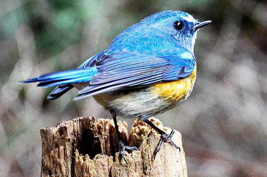 幸せを運ぶ青い鳥、ルリビタキ  ...