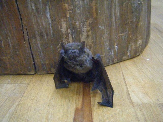 コウモリの画像 p1_26